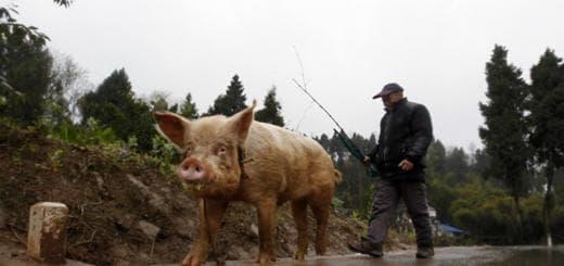 Как русские Гонконгу подложили свинью